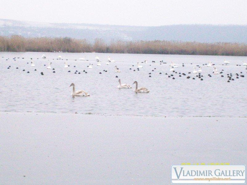 Сребърна и лебеди