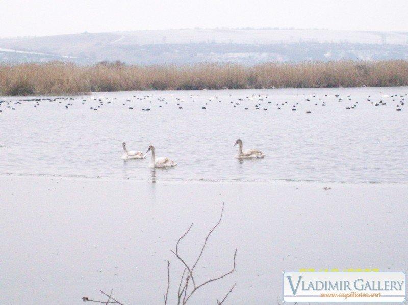 """Лебеди на езерото """"Сребърна"""""""