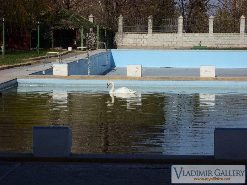 Лебед в басейна на Хотел Дръстър