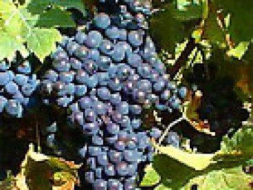Продавам грозде винен сорт - мерло