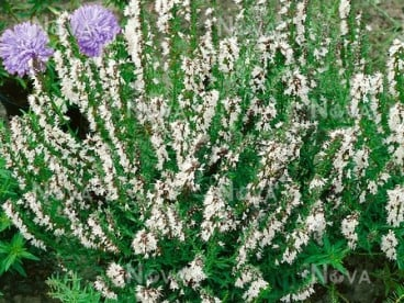 Предлага разсад бял хизоп hyssopus officinalis Albus