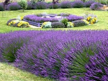 Лавандула за озеленяване на паркове и дворове.